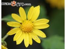 Image 菊花