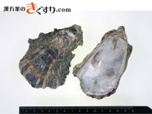 Image 牡蛎